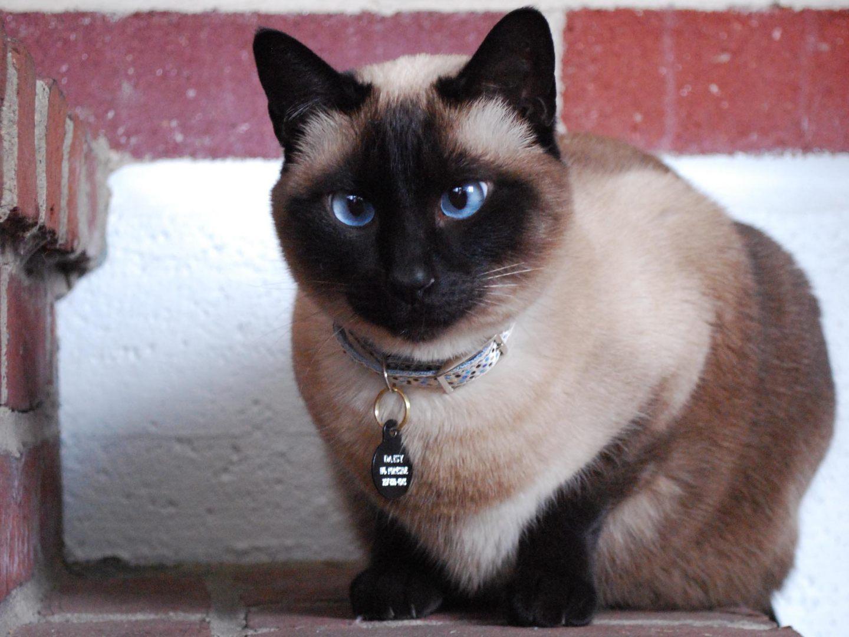 Gatos Dos Olhos Azuis Olhos Azuis do Gato Siamês