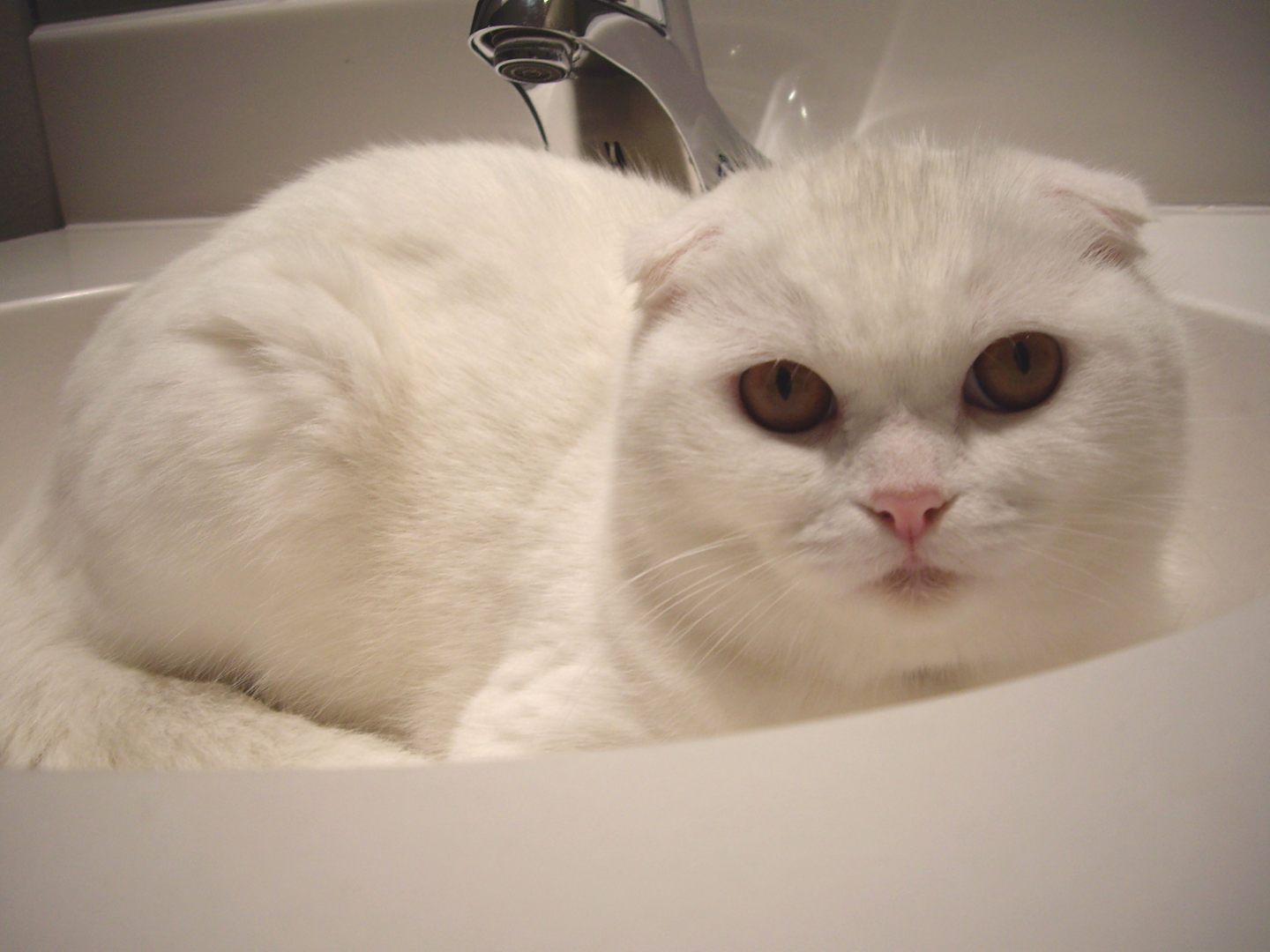 Scottish Fold branco