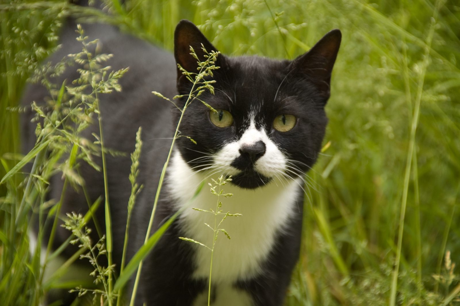 Gato Manx :: Fotos e i...