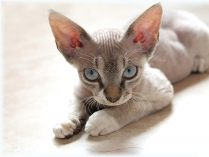 Cornish Rex cinzento