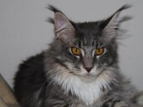 Orelhas do Maine Coon