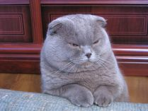 Pêlo do Scottish Fold