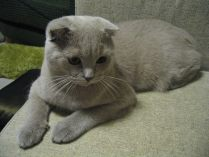 Raça Scottish Fold