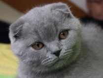 Scottish Fold cinzento