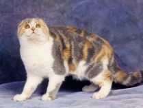 Scottish Fold tricolor
